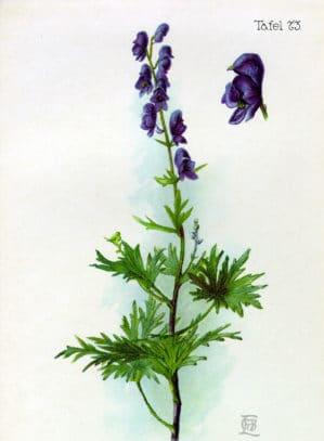 Aconitum napellus L.