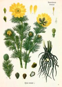 (Adonis vernalis L.)