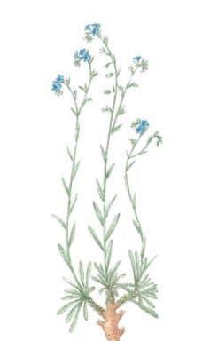 Alkanna tinctoria (L.) Tausch