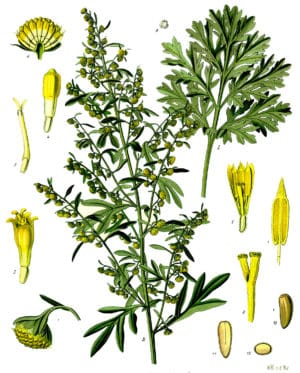 (Artemisia Absinthium)