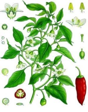 Capsicum frutescens L. s.l.