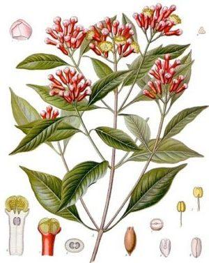 Gewürznelke ( Syzygium aromaticum)