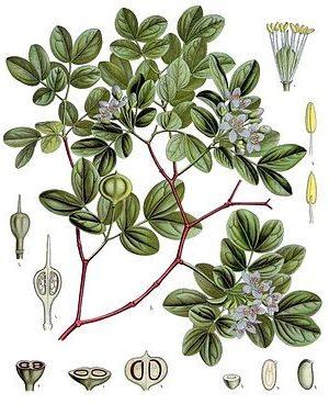 Guajakholzbaum