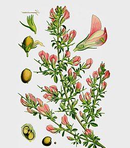 Hauhechel (Ononis spinosa)