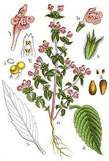 Hohlzahn (Galeopsis segetum Necker)