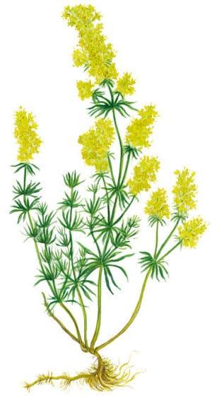 Labkraut (Galium verum)