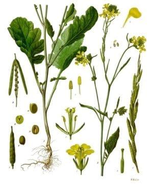 Senf (Brassica nigra)