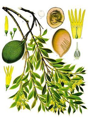 quebrechobaum