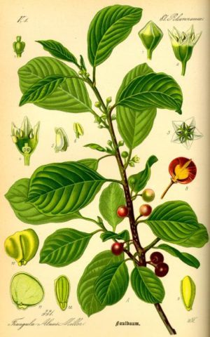 faulbaum