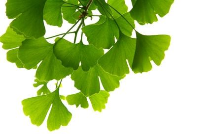 Ginkgo ++ Efecto de la planta medicinal como té y cápsulas.