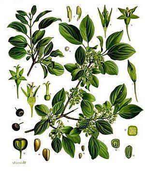 Kreuzdorn (Rhamnus catharticus)