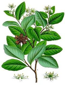 Seifenrindenbaum